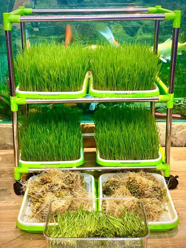 Hướng dẫn Cách trồng Cỏ Lúa Mì để 'thu hoạch' tại nhà 3