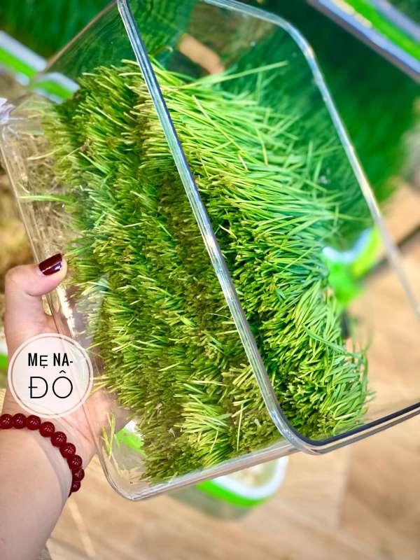 Hướng dẫn Cách trồng Cỏ Lúa Mì để 'thu hoạch' tại nhà 4