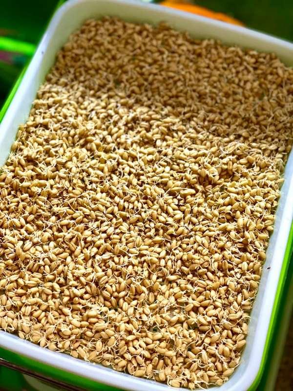 Hướng dẫn Cách trồng Cỏ Lúa Mì để 'thu hoạch' tại nhà 5