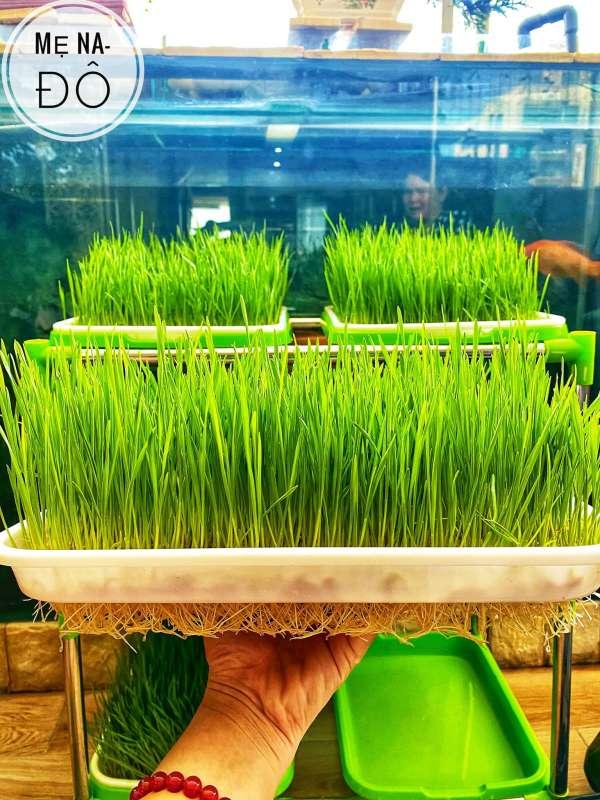 Hướng dẫn Cách trồng Cỏ Lúa Mì để 'thu hoạch' tại nhà 9
