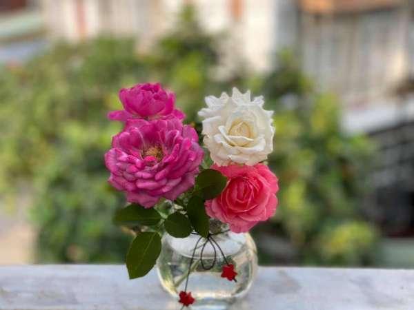 [Kinh Nghiệm] Cách trồng hoa Hồng tại nhà, trên sân thượng 5