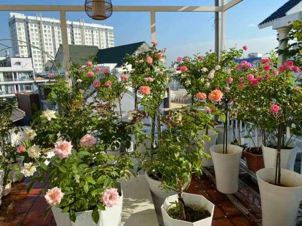 [Kinh Nghiệm] Cách trồng hoa Hồng tại nhà, trên sân thượng 3