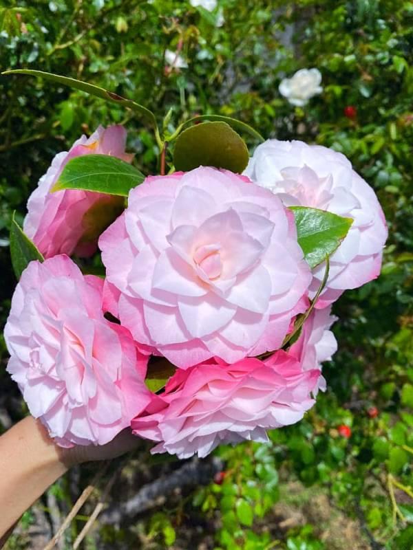 Giới thiệu về Hoa Trà - Trên thế giới có khoản 300 loài Camellia 3
