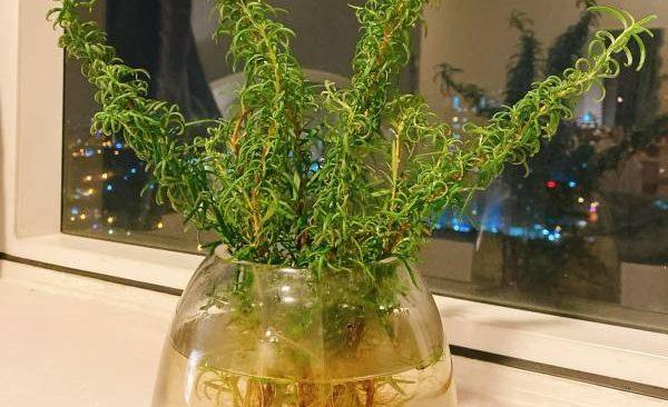 Cách Trồng cây Rosemary bằng nước 17