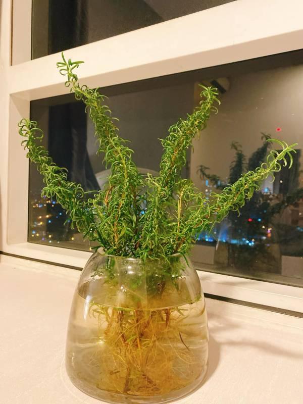 Cách Trồng cây Rosemary bằng nước 2