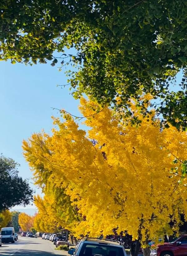 Con đường lấp lánh vàng cây Ginkgo Biloba 3