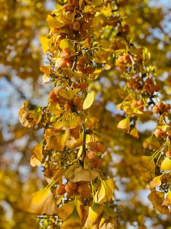 Con đường lấp lánh vàng cây Ginkgo Biloba 4