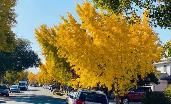 Con đường lấp lánh vàng cây Ginkgo Biloba 11
