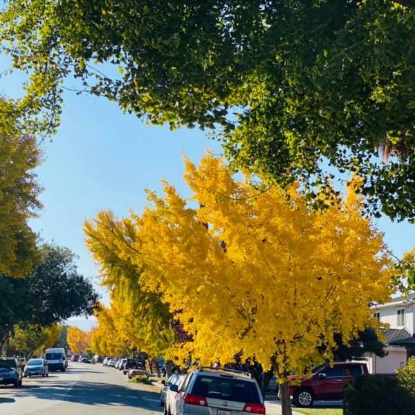Con đường lấp lánh vàng cây Ginkgo Biloba 2